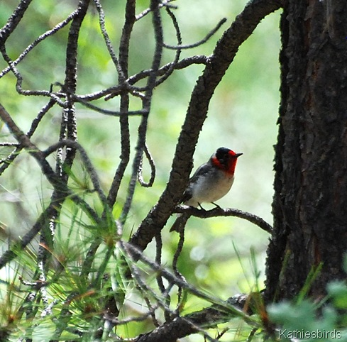 DSC_0007 red-faced warbler-kab