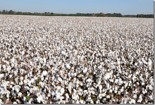 new farm cotton 2012 (62)