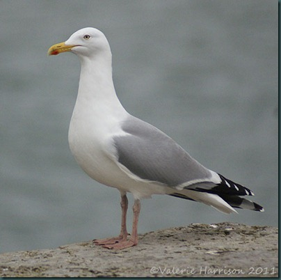 3-herring-gull