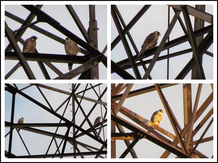 4 Peregrin Falcon
