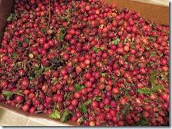 cranberry bog 04