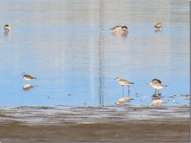 Mixed shorebirds 1