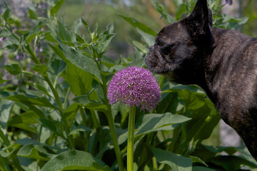 Well, Sharkey, I see that the allium have opened up.  These show-stopping globes are in the onion family.