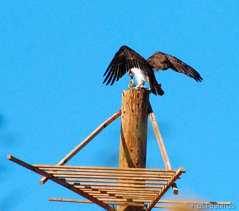 11. osprey-kab