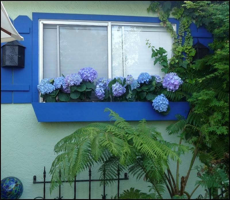 Blue hydrangeas 007 (800x696)