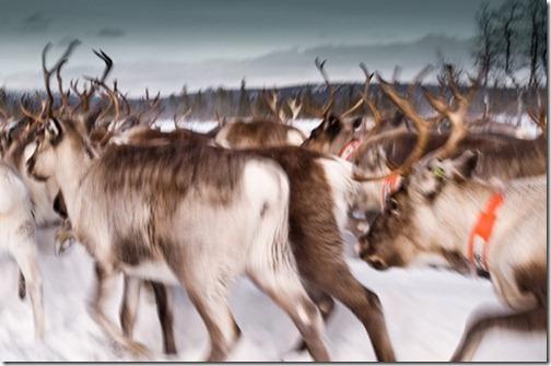 ReindeerLappland_thumb1