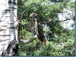 2239 Manitoba Lake Audy Rd East Riding Mountain National Park - Great Gray Owl