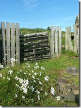 old gate and daisies