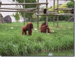 2004.08.25-020 orangs-outans