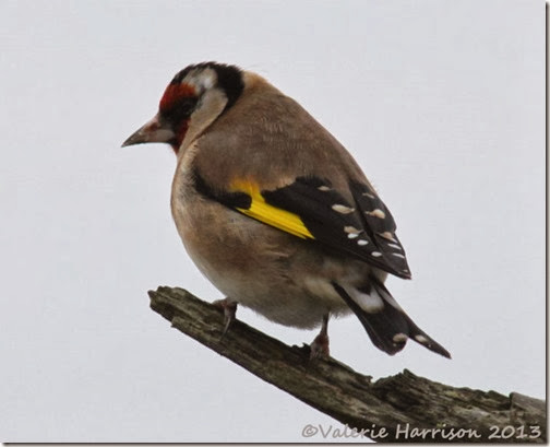 4-goldfinch