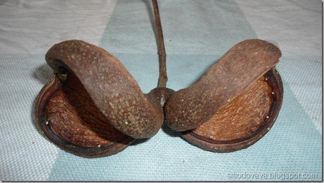 Frutos da castanhola