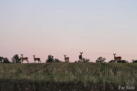 Deer in the field five