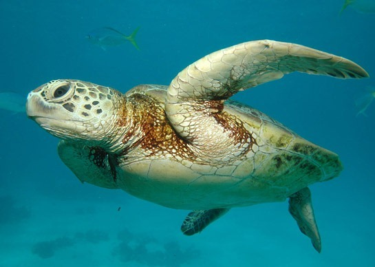 great-barrier-reef-sea-turtle