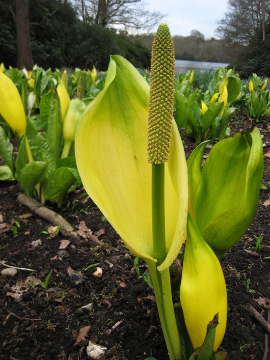 WESTERN SKUNK CABBAGE