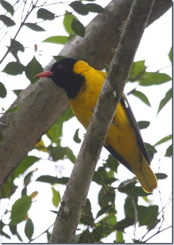 black-headed_oriole