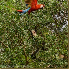 White-faced Monkey and Scarlet Macaw