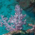 Weich-Koralle bei Similan