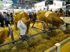 2015.02.26-078 vache Simmental