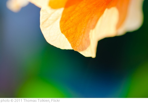 'Orange Hibiscus Glow-1' photo (c) 2011, Thomas Tolkien - license: http://creativecommons.org/licenses/by/2.0/
