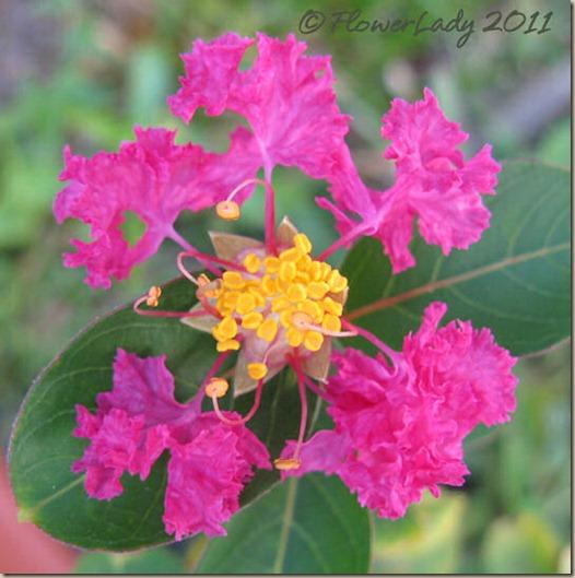 07-22-pink-crepe