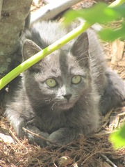Florida stray grey feral kitty
