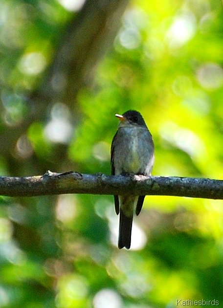10. eastern wood pewee-kab