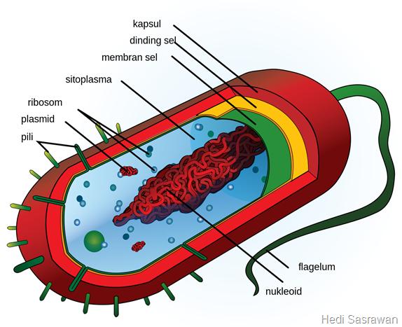 Mengapa Prokariotik Tidak Melakukan Mitosis Maupun Meiosis