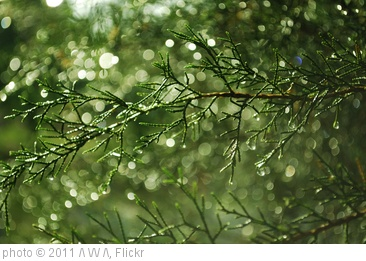 'red cedar with rain' photo (c) 2011, /\ \/\/ /\ - license: http://creativecommons.org/licenses/by-sa/2.0/