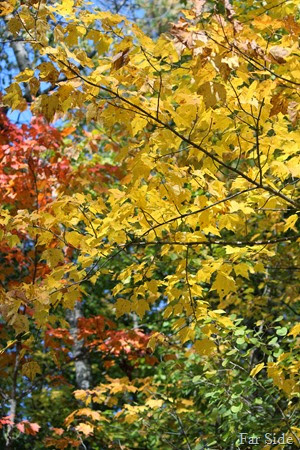 Maple that turns yellow