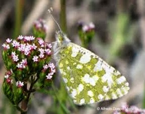 Amazing Pictures of Animals, Photo, Nature, Incredibel, Funny, Zoo, Euchloe tagis, Butterflies, Portuguese Dappled White, Alex (7)