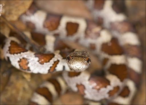 milk snake Amphibians & Reptiles