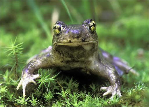 Spadefoot toad Amphibians & Reptiles