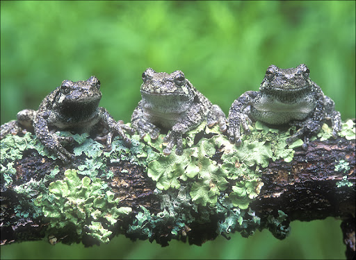 three tree frogs Amphibians & Reptiles
