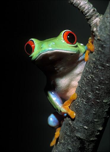 red eyed treefrog Amphibians & Reptiles