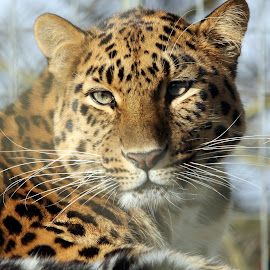 Leopard by Ralph Harvey - Animals Lions, Tigers & Big Cats ( wildlife, ralph harvey, leopard, marwell zoo, animal )