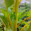 Spur Throated Locust ( Tiddaa : टिड्डा )