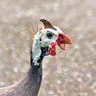 Guinea fowl, helmeted guineafowl