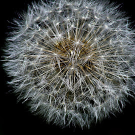 dandelion by Brent Lindsay - Nature Up Close Other plants ( dandelion )