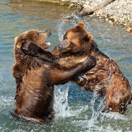 Bears by Stefan Friedhoff - Animals Other Mammals ( grizzly, bear, bears, brown, duell, kodiac,  )