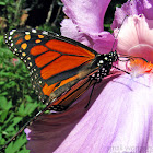 Monarch Butterfly - male