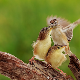 Fly & Feed (2) by Roy Husada - Animals Birds