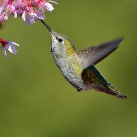 Anna's Hummingbird (female) by Pierre Cenerelli - Animals Birds ( bird, hummingbird, ubc, nikon, vancouver, photo, cherry blossoms )