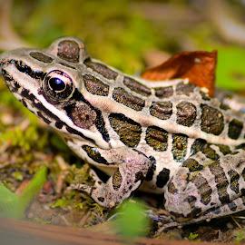 Pickerel Frog by Thaddaeus Smith - Animals Amphibians ( pickerel, frog )