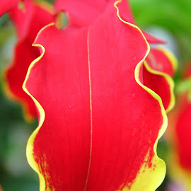 I'm Just Frilled by Lew Davis - Nature Up Close Other plants ( plant, flower garden, blooms, plants, flower gardens, gardens, bloom, yellow, lew davis, blossoms, blossom, red, nature, pink, flowers, garden, flower, petal )