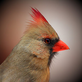 Female Kentucky Cardinal  by Paul Mays - Animals Birds