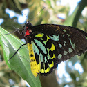 Cairns Birdwing Butterfly (Male)