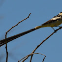 Pin-tailed whydah (male and females)