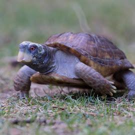 Running Tortoise by Janet Marsh - Animals Amphibians ( tortoise, sulfur creek,  )