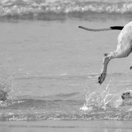 by Mark Butterworth - Animals - Dogs Running