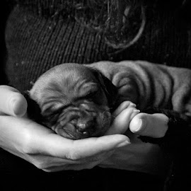 Baby Zorro by Aiga Zeltiņa - Animals - Dogs Puppies ( b/w, puppy, dog )